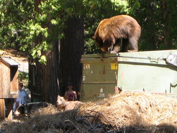 Bear on dumpster, with two cubs
